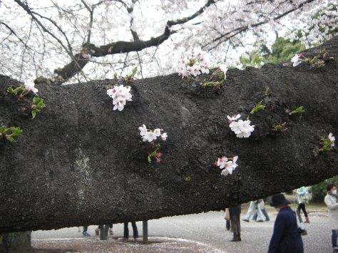 Shinjuku Park #4 - die Blüten wuchsen auch direkt auf dem Stamm!