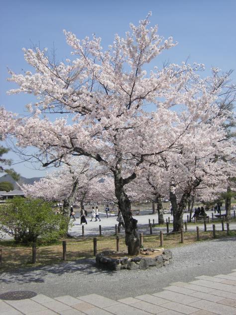 Arashiyama #8 - einer der schönsten Sakura Trees der gesamten Reise