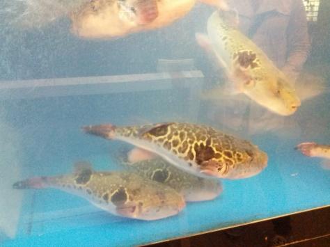 Osaka City #5 - Kugelfische